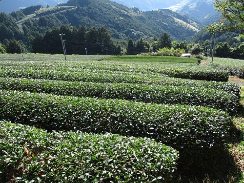 農薬と肥料が不使用である茶畑
