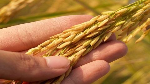 玄米の稲を手のひらにのせて